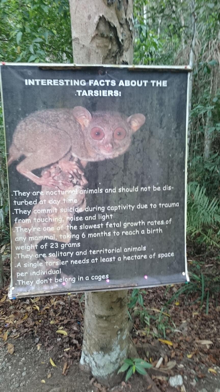 tarsier-sanctuary-tarsier-facts