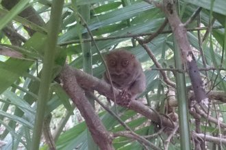 tarsier-sanctuary-tarsier-closeup